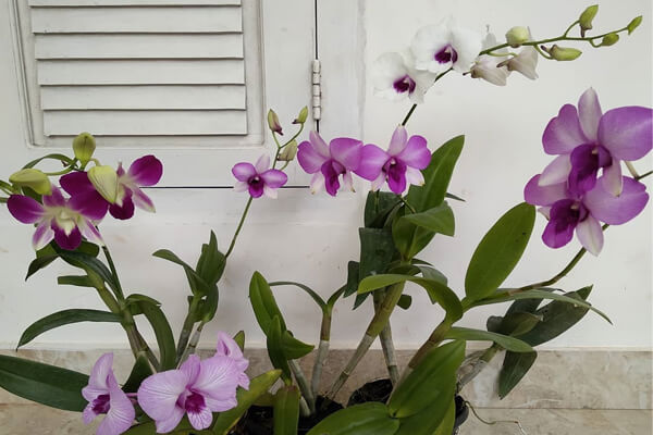 Dendrobium orchids with flowers