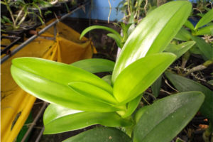 Orchid Leaf with light green color